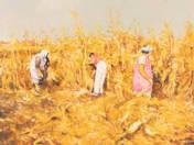 Kukoricatörők